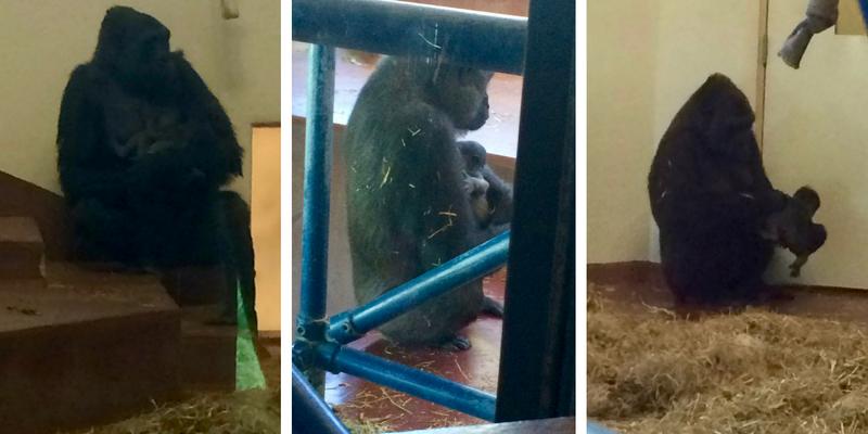 philly-zoo-baby-gorilla
